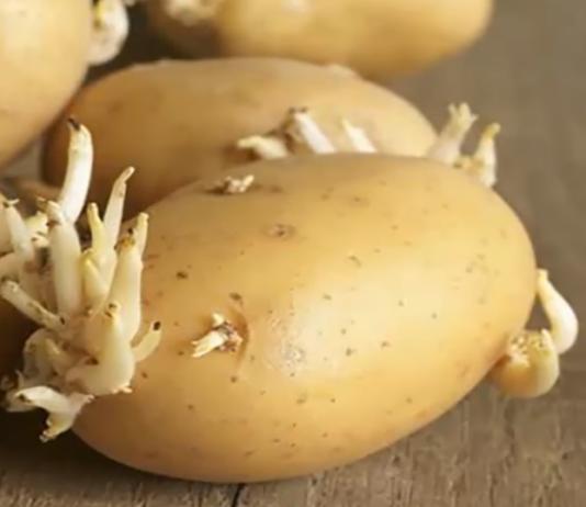Mangiare patate germogliate fa bene o male? Ecco la verità