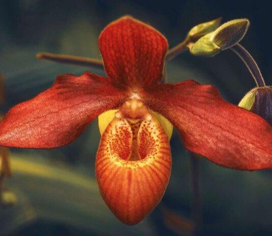 Attenzione, non mettere mai queste orchidee in casa